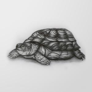 rysunek-olowkiem-zolw